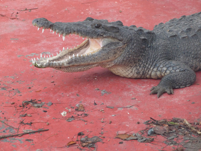 club-med-cancun-crocodile